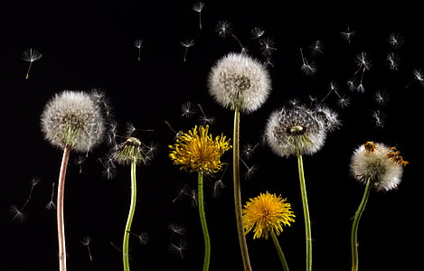 dandelion, macro, common dandelion, taraxacum, back light, pollen, flower