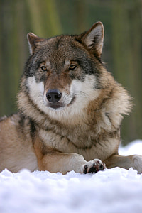 wolf, zoo, canis lupus, canine, mammal, wolves, wildlife photography
