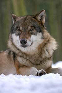 Wolf, Zoo, Canis lupus, koerte, imetaja, Hundid, eluslooduse fotograafia