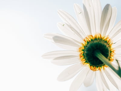 daisy, desktop backgrounds, flower, perspective, petals, white, nature