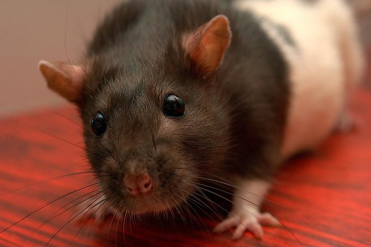 szczur, domowe životnoekrysa, zwierzętom, zbliżenie, dekoracyjne