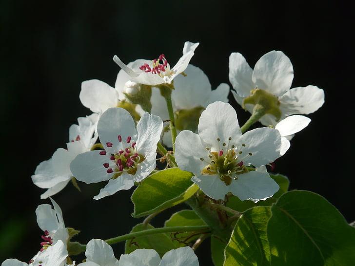 flor de pera, pera, flor, flor, blanc