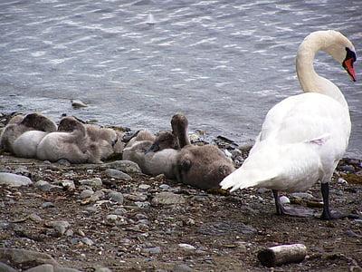 swan, swans, baby swan, water, bird