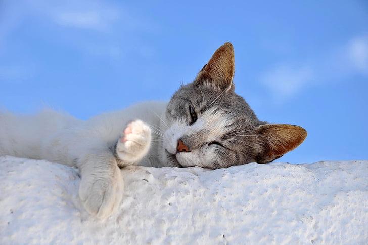 gat, son, animal, gat domèstic, un animal, animals de companyia, animals domèstics