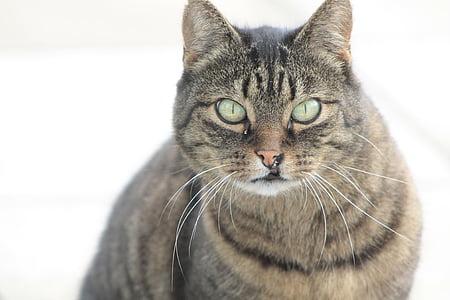 cat, pet, cute cat, animal, cat's eyes, domestic cat, kitten