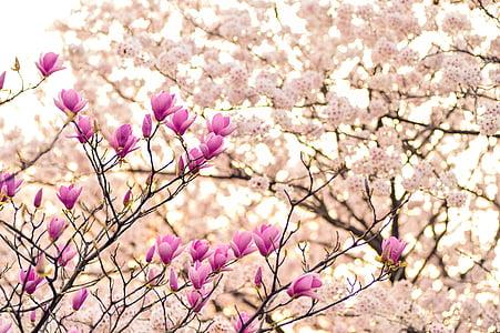Japó, paisatge, primavera, planta, flors, natural, Arborètum