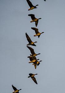 oques, aus migratòries, volar