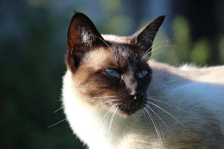 cat, siamese cat, mieze, breed cat, cat's eyes
