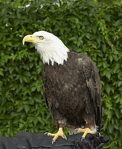 Eagle, kalju, kyydissä, Raptor, lintu, Luonto, puu
