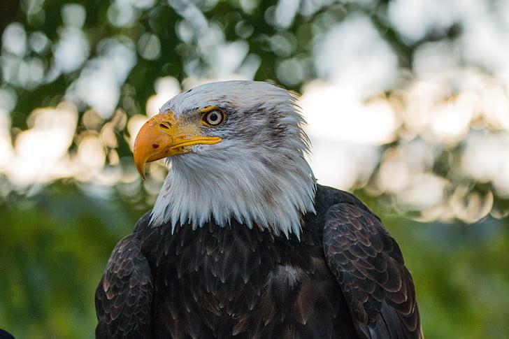 Haliaeetusleucocephalus, Adler, Raptor, lintu, sulka, höyhenpeite, Sulje