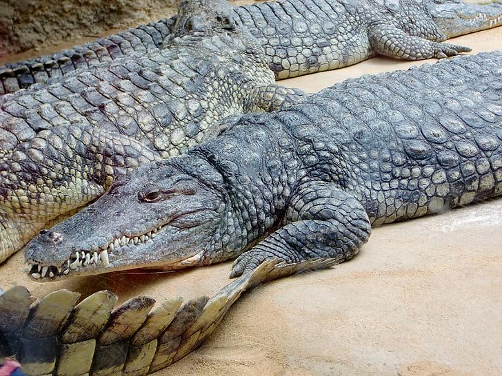 Крокодил, ящірка, небезпечні, Рептилія, Хижак, зуб, Алігатор
