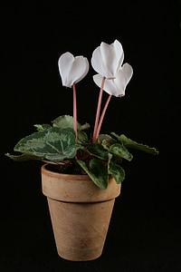 Alpenveilchen, Topfpflanze, Blumen, Zimmerpflanze, weiß, dekorative