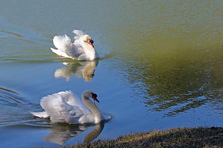 swan, nature, pond, water, bird