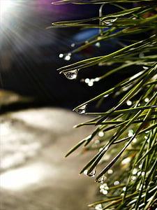росы, Солнце, капли, иглы, Капля росы, воды, сосна