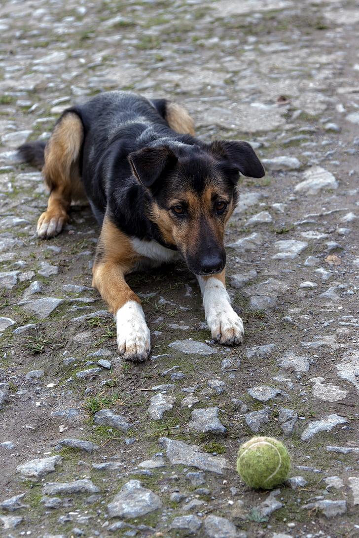 hund, spela, bollen, Husdjur, lekfull, djur, ung hund