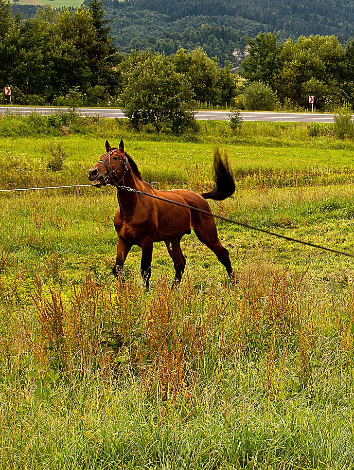конят, животните, главата, пони, опашка, юзда, ласо