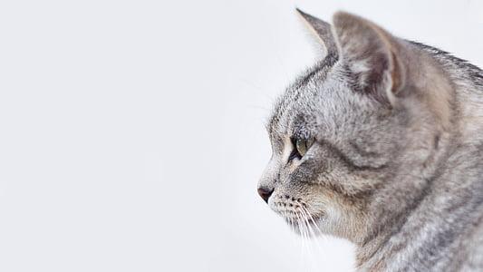 cat, animal, kitten, cute, eyes, whiskers, pets
