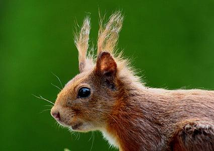esquirol, nager, marró, natura, pelatge, orelles, rosegador