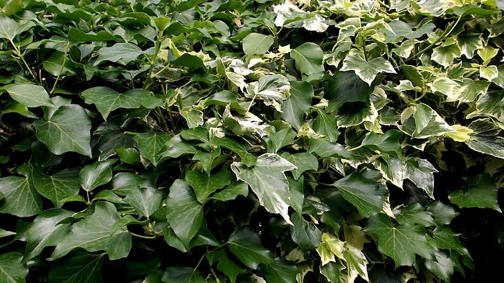 Ivy, Yeşil, yaprakları, çit, doğa, bitki, Bahçe