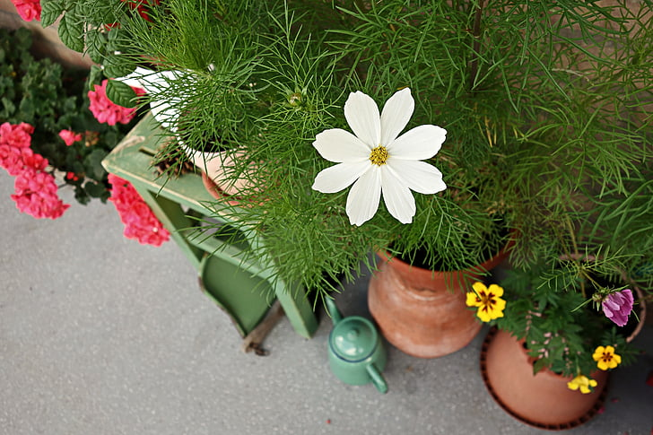 cosmea, flower, garden, street garden, wall garden, pot, flower pot