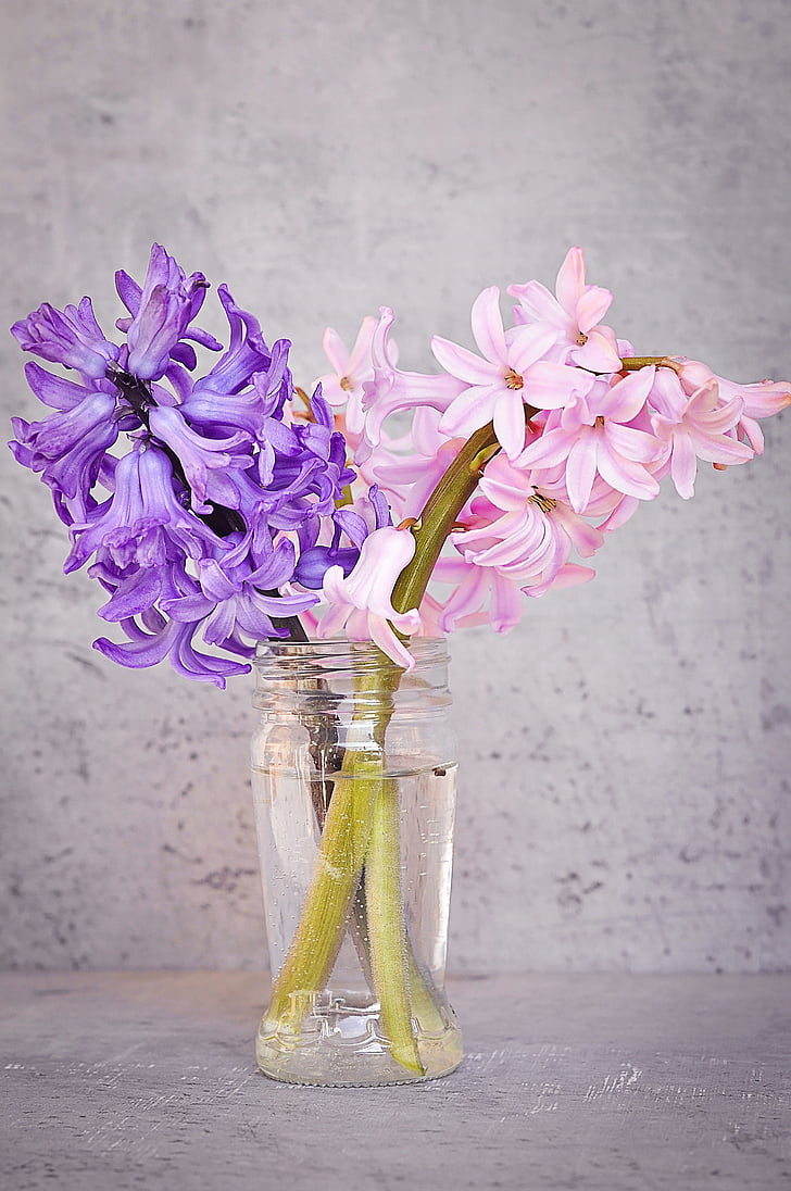 hyacint, ružová, modrá, kvet, ružový kvet, Modrý kvet, voňavé kvety