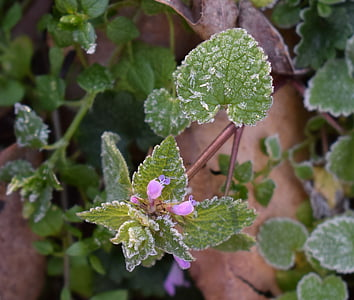 frost on leaves, spring frost, leaf, foliage, plant, growth, no people