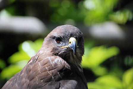 comune buzzard, Buteo buteo, pasăre de pradă, păsări răpitoare, prădător, Close-up
