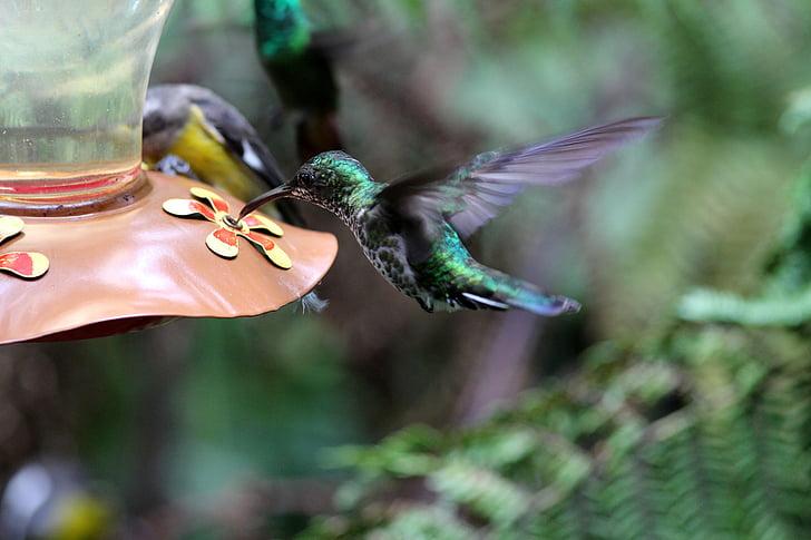 Colibrí, ocells, natura, animal, vida silvestre, ocell, plana