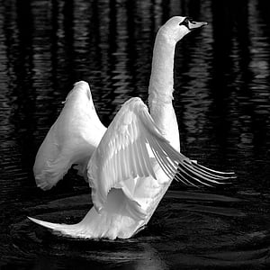 joutsen, eläinten, Lake, valkoinen, lintu, Avaa siivet, paeta