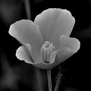 virág, fekete-fehér, fehér, fekete, virágos, természet, gyönyörű