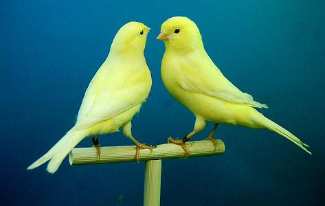 канарчета, жълто, Птицеферма, птица, животните, природата