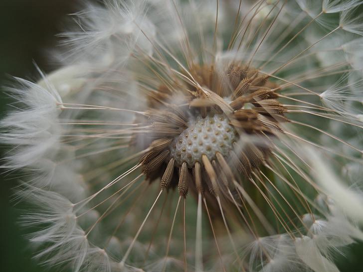 võilill, lill, kevadel, seemned, Makro, valge, seemne