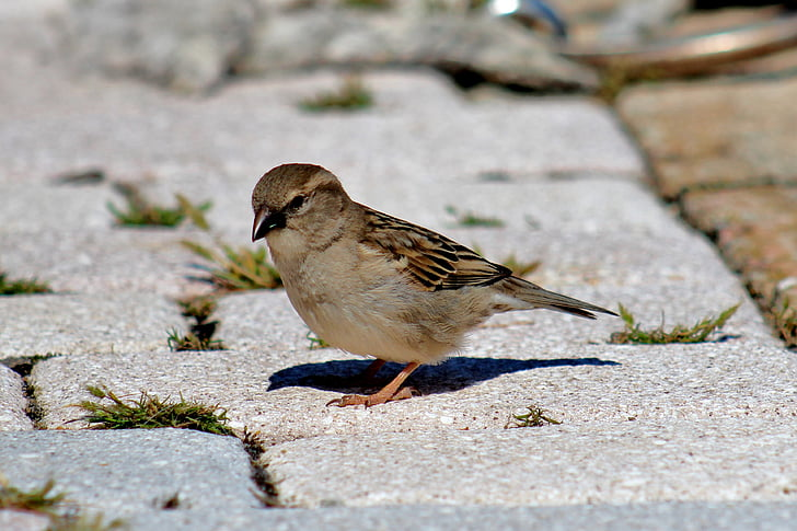 bird, female sparrow, sparrow, nature, animal, wildlife, outdoors