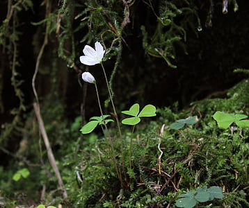 Forest apila, puu Niittysuolaheinä, Blossom, Bloom, kukka, Luonto, Metsä