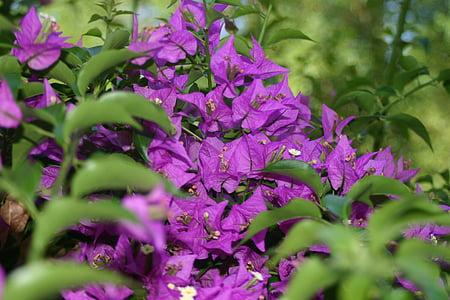 purple, blossom, bloom, flower, flowers, nature, plant