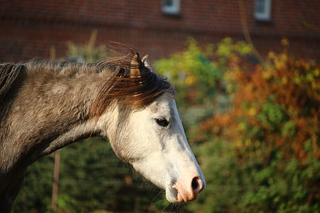 konj, kalup, čistokrvni arapski, jesen, konjsku glavu, Mare, konj oko