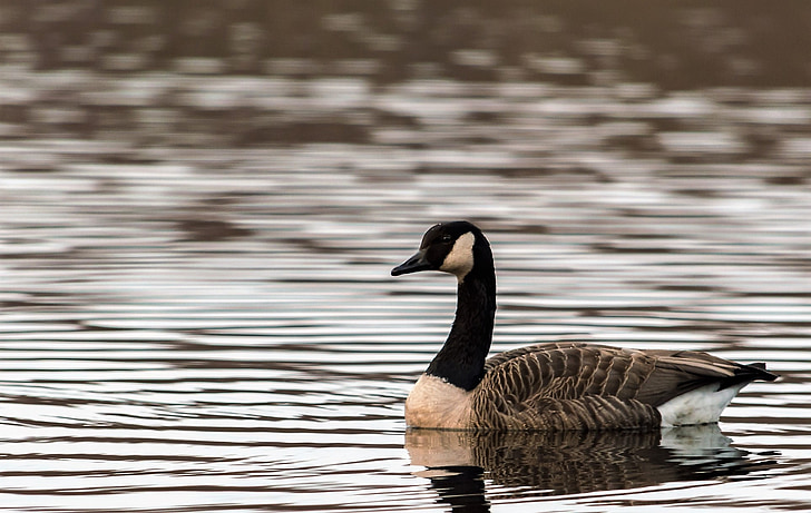 Гусь, дикий гусь, птица, озеро, воды, животное, перо