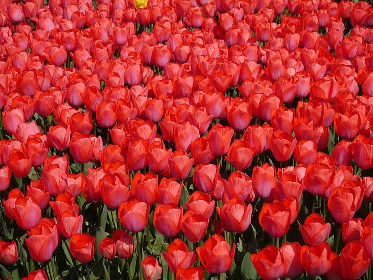 vermell, Tulipa, Yokosuka, Parc de la brisa del mar, primavera, aroma de, fragància