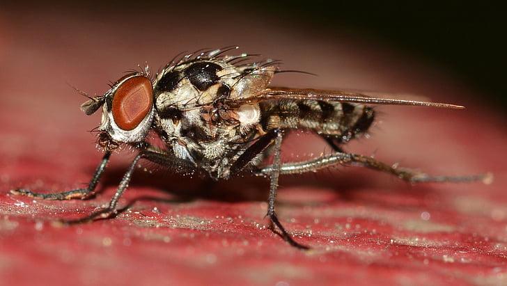 dípters, insectes, Anthomyia, procellaris