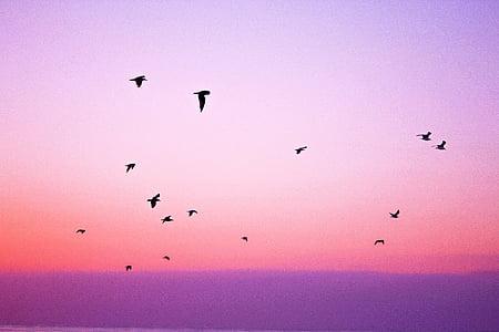 птица, плаващи, залез, хоризонт, розово, лилаво, небе
