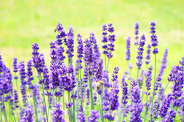 Levanda, gėlės, violetinė, laukinių augalų, WildBlue, levandų gėlės, tikrosios levandos