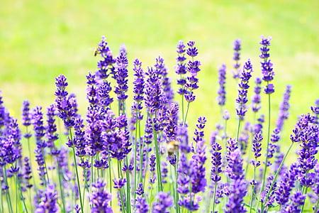 Λεβάντα, λουλούδια, μωβ, άγριο φυτό, Wildblue, άνθη λεβάντας, αληθινή λεβάντα