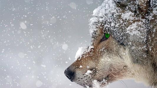 vilkas, sniego, šaldymo, akių, žalia, auskarų vėrimas, plėšrūnas