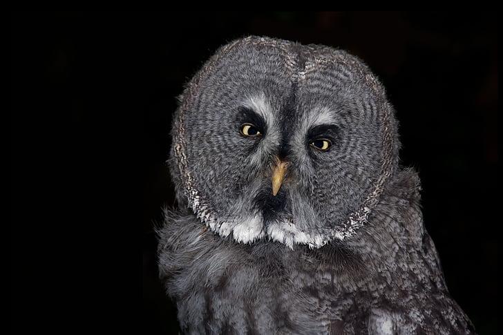 Pöllö, lintu, Huuhkaja, sulka, eläinten, yö aktiivinen, silmät
