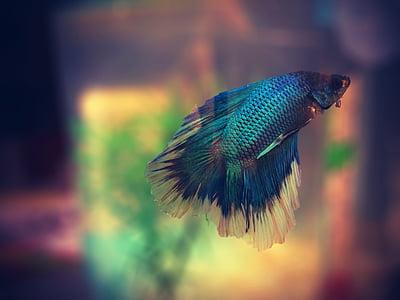 fish, aquarium, colorful, betta, macro, swimming, animal