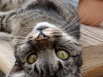 cat, mieze, cat's eyes, animal, domestic cat
