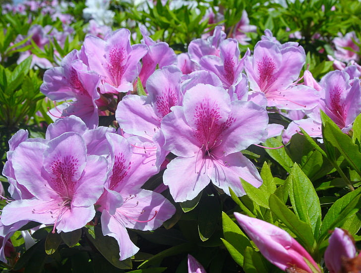 Satsuki, maijs, ziedi, rozā, sarkana, violeta, bud, Leaf