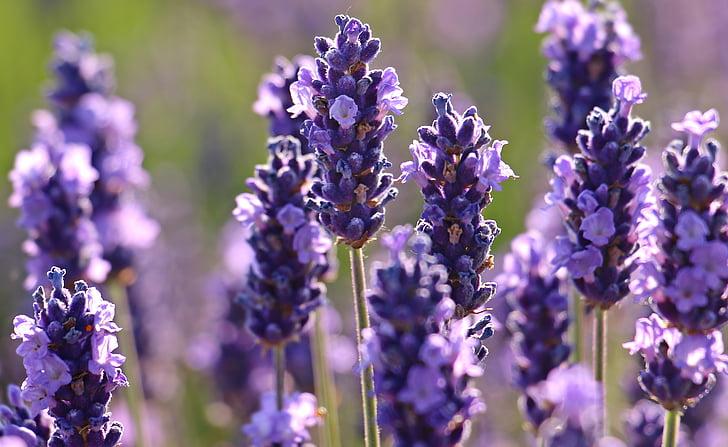 Levanda, gėlė, violetinė, violetinė, gėlės, floros, žydėti