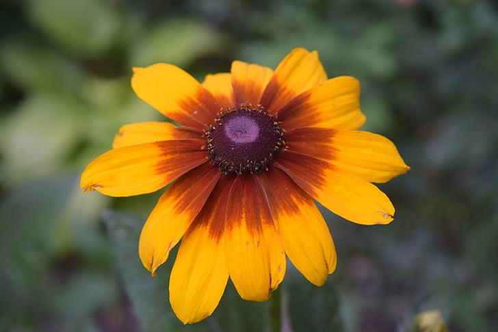 желтый цветок, Желтые ромашки, желтый, маргаритка, крупным планом, желтый центр