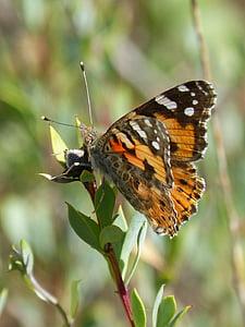 vlinder, Distelvlinder, Oranje vlinder, Vanesa van distels, migreren dels kaarten, insect, vlinder - insecten